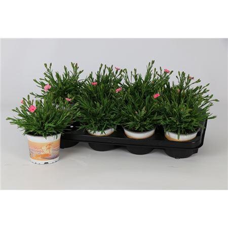 <h4>Dianthus Peach Party 12cm</h4>