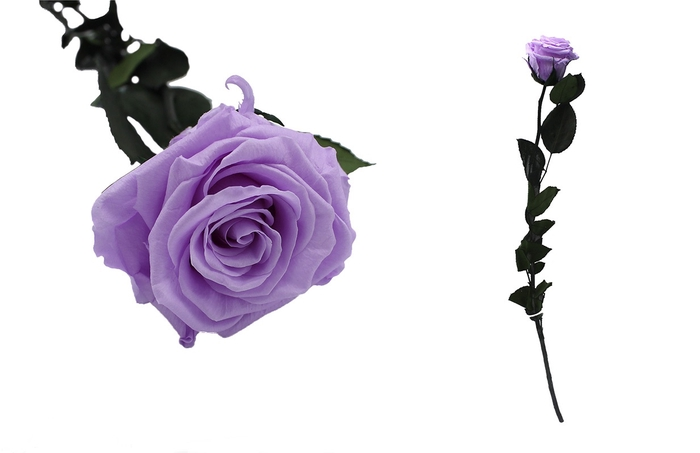 <h4>Rosa preservada purpura baby lili</h4>
