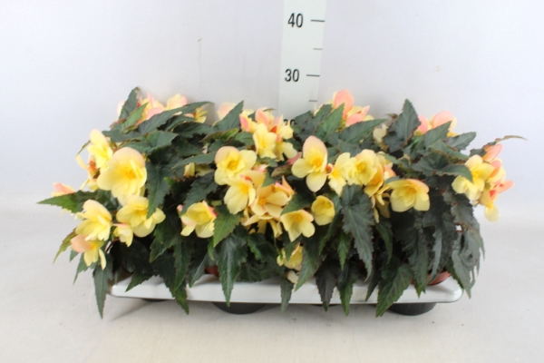 <h4>Begonia  'Florencio Yellow'</h4>