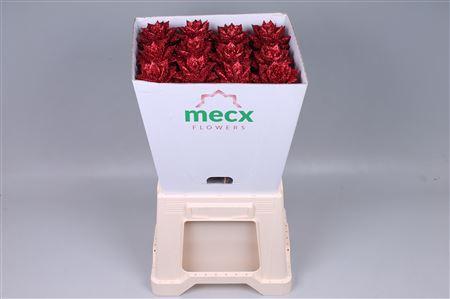 <h4>Echeveria Glitter Red (mecx Flowers)</h4>
