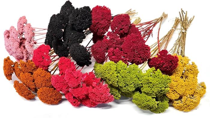 <h4>Achillea per stem Mixed colours</h4>