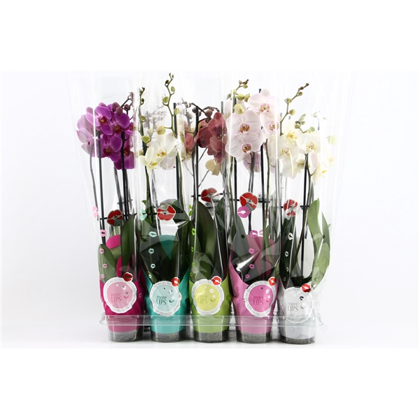 <h4>Phalaenopsis  2br Mix MoreLips 3.0</h4>