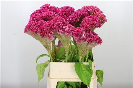 <h4>Celosia C Turbo Rose</h4>