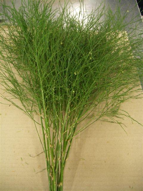 <h4>Asparagus Virgatus</h4>