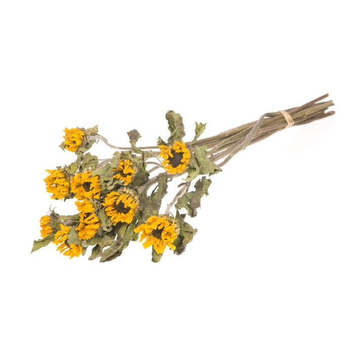 <h4>helianthus nat. yellow</h4>