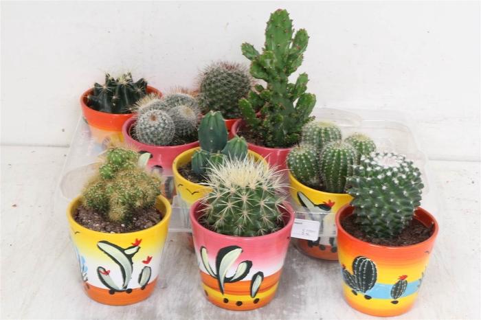 <h4>Cactus Gemengd Deco Potjes #</h4>
