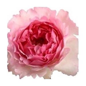 Rosa Gr.Pink Yves Piaget