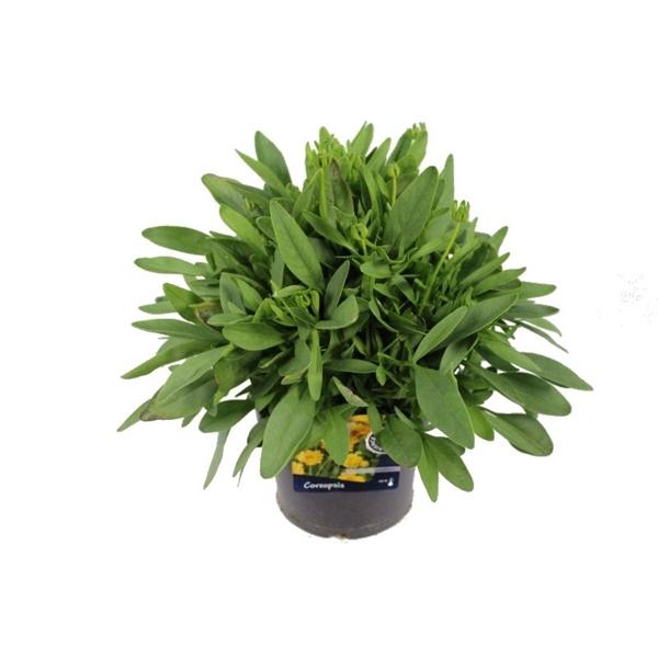 <h4>Coreopsis Grand. Illico</h4>