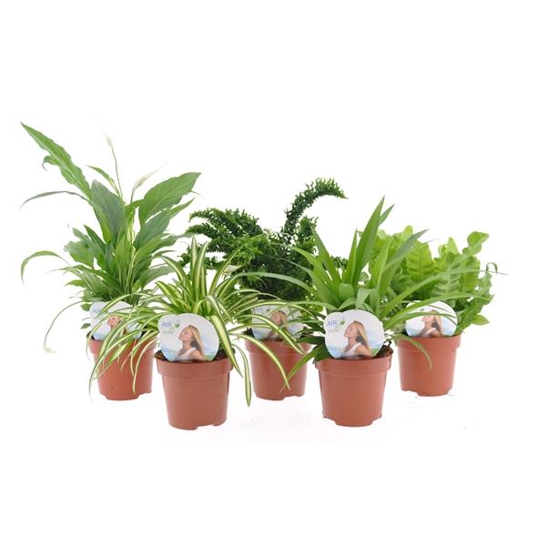 <h4>Plantes mix vde Asp</h4>