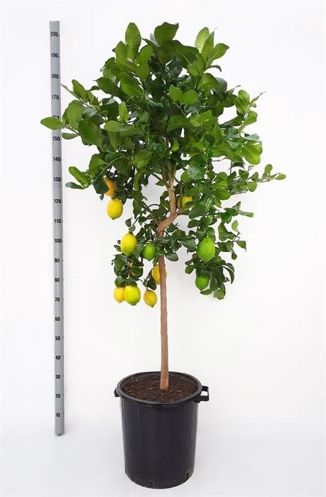 <h4>Citrus limon</h4>