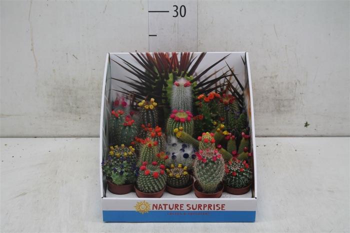 <h4>Cactus Versierd Strobloem Showdoos</h4>