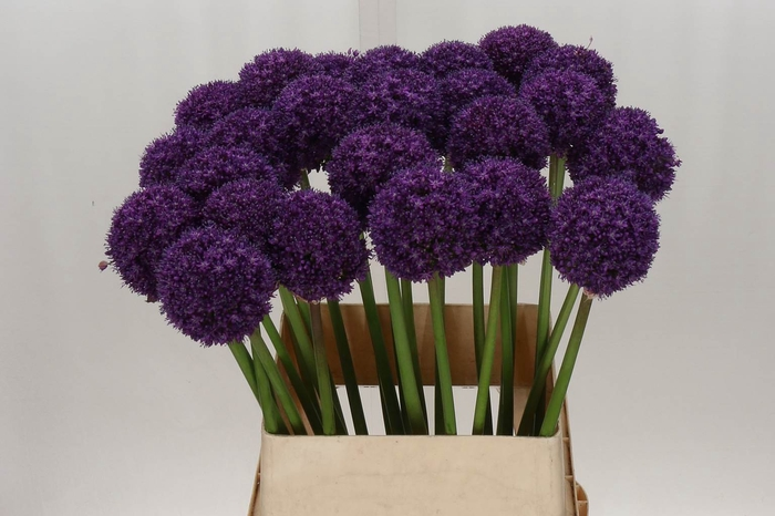 <h4>Allium Ambassador***</h4>