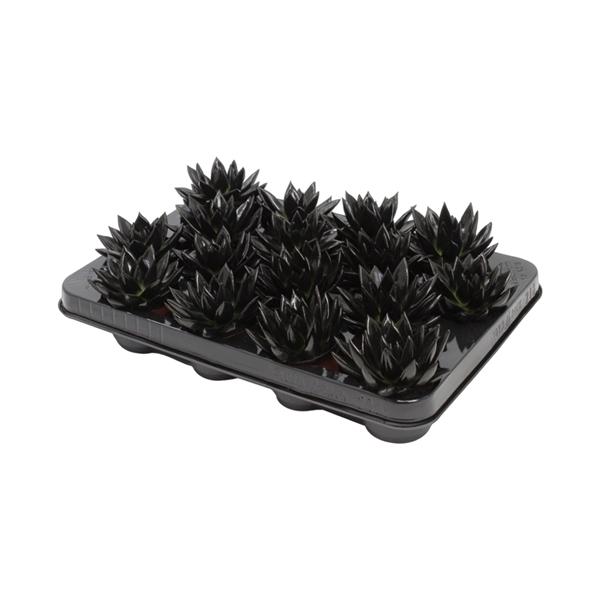 <h4>Echeveria coloured black</h4>
