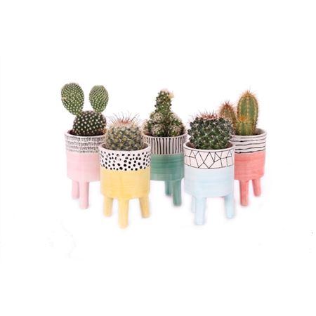 <h4>Cactus Willemstad 5,5 Cm</h4>