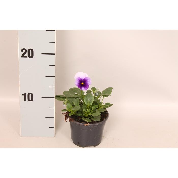 <h4>Viola cornuta F1 Beaconsfield</h4>