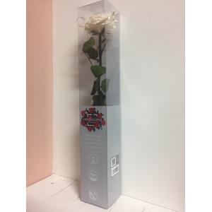Roos op steel xl Plexi 55cm Champagne