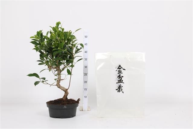 <h4>Ficus Microcapra 22Ø 60cm</h4>