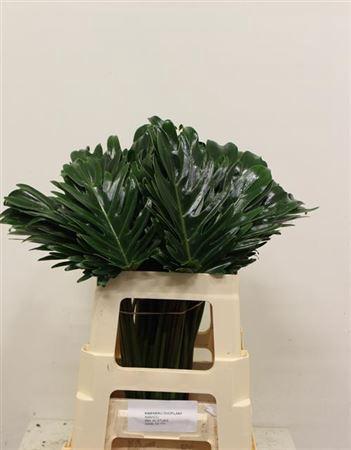 <h4>Philodendron Xanadu</h4>