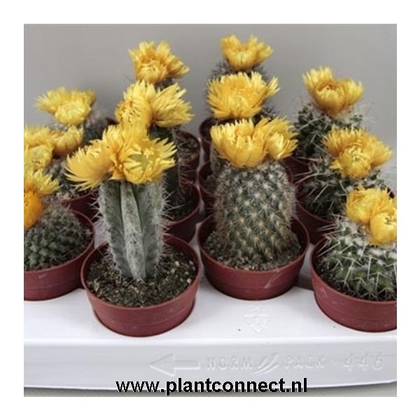 <h4>art.64 Gele bloemen sier ( droogbloem ) 6,5 cm</h4>