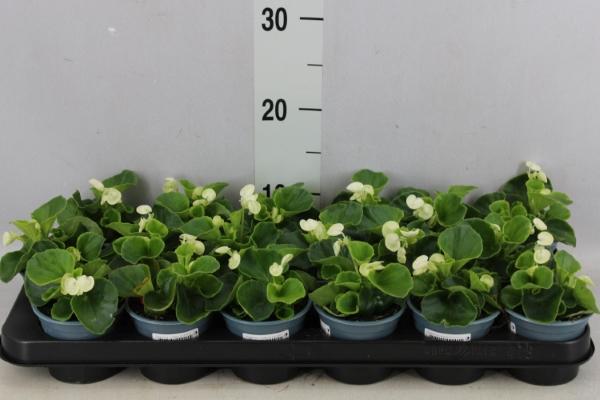 <h4>Begonia semp.   ...</h4>