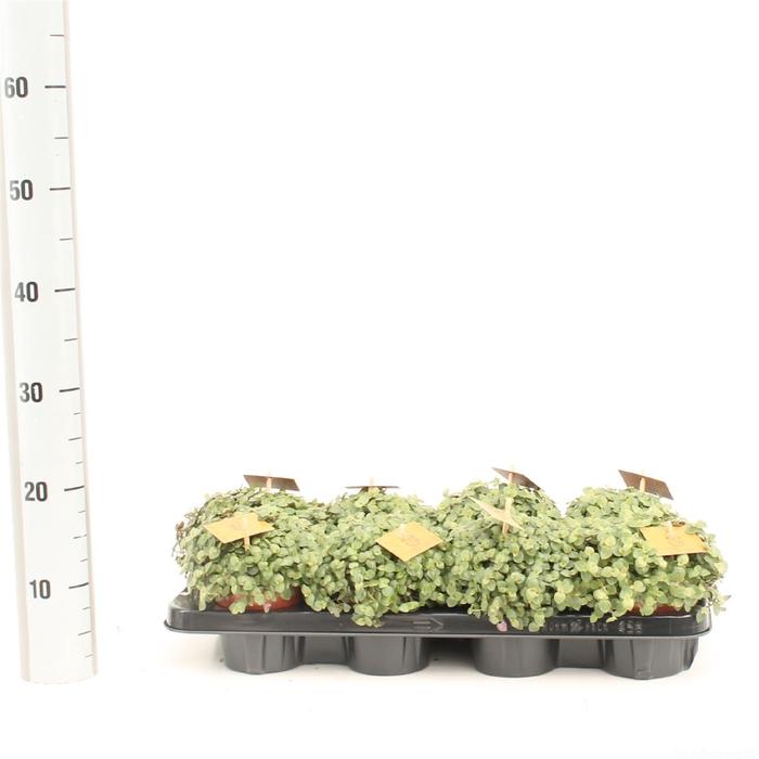 <h4>Callisia Turtle</h4>