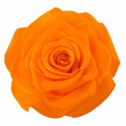 Rose Monalisa Orange