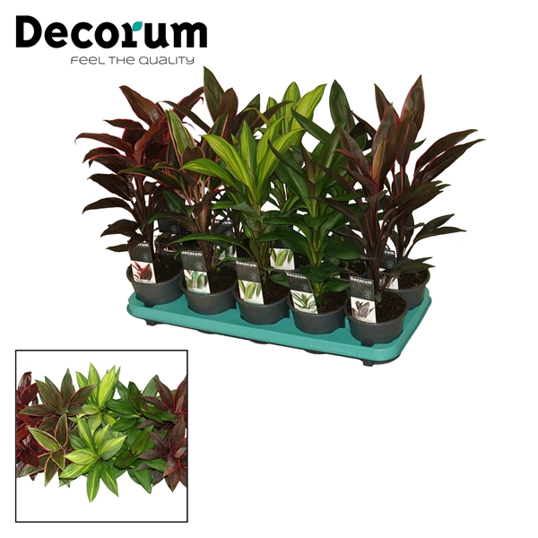 <h4>Cordyline Mix</h4>