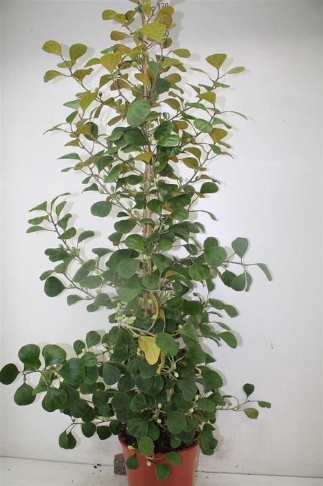 <h4>Ficus Deltoidea 'jack'</h4>