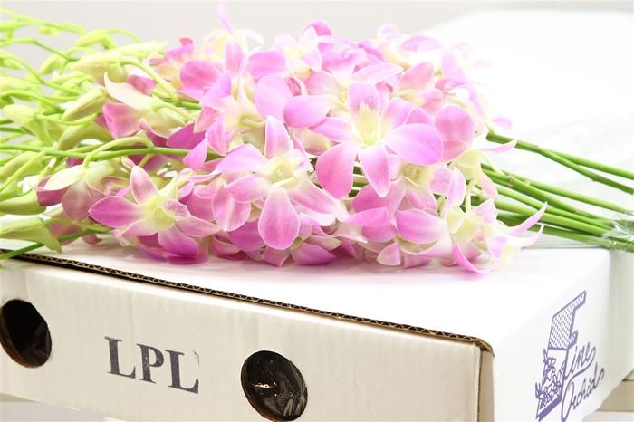 <h4>Dendrobium Lucky Pink</h4>