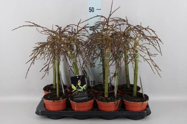 <h4>Salix arbuscula</h4>