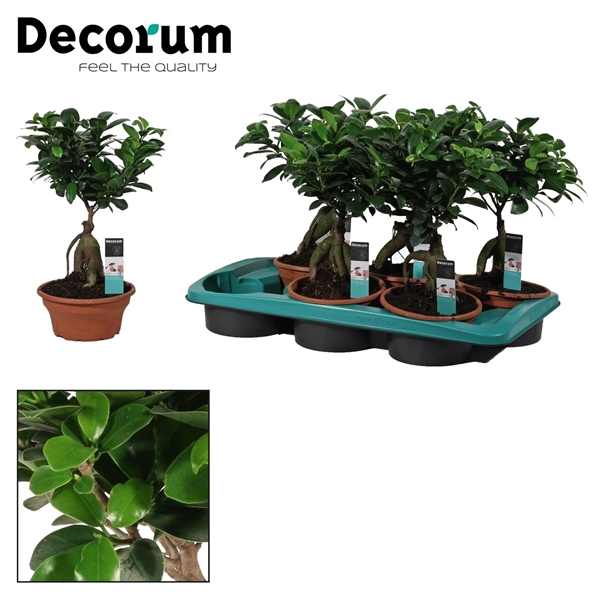 <h4>Ficus Microcarpa Ginseng geënt 16 cm (Decorum)</h4>