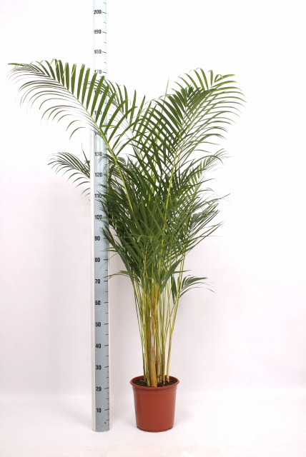 <h4>DYPSIS LUTESCENS</h4>