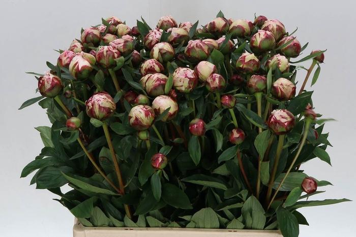 <h4>Paeonia L Sarah Bernhardt Vertakt</h4>