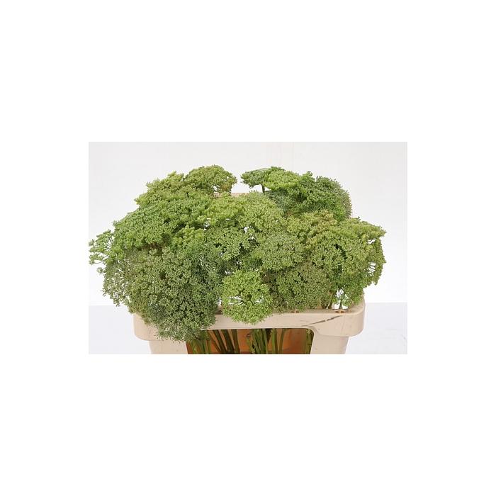 <h4>Ammi Vis Green Mist</h4>