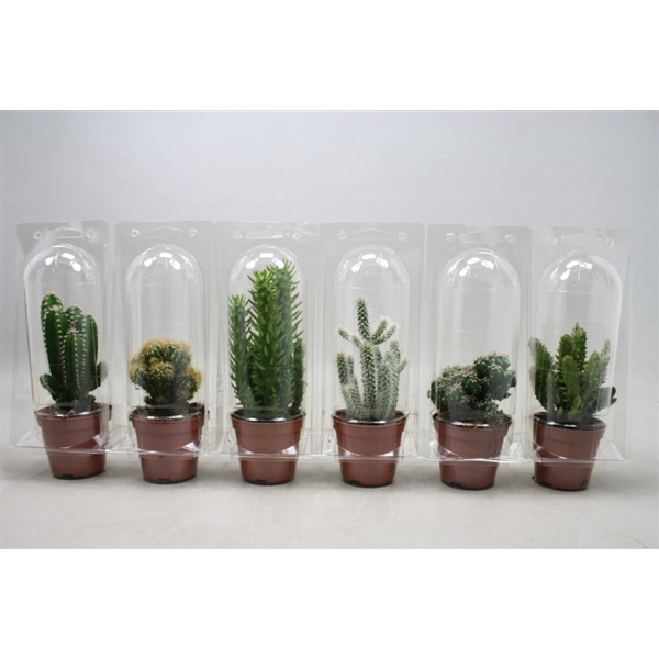 <h4>Cactus mix 8,5 cm. in blister 1 pack</h4>