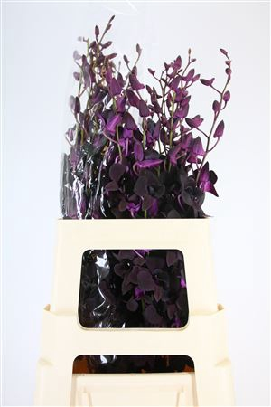 <h4>Dendro Black Beauty Xl</h4>