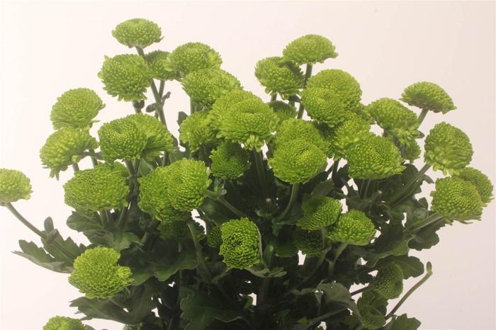 <h4>Chrysant T Code Green</h4>