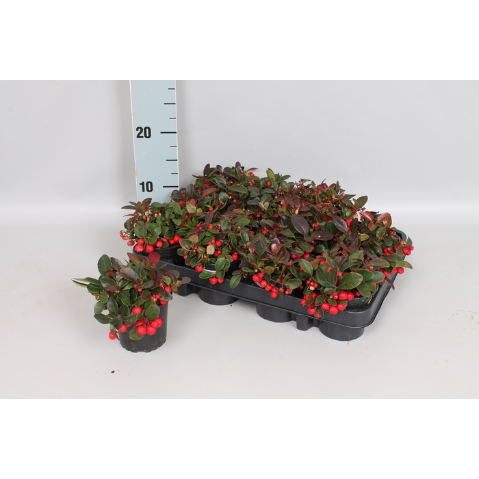 <h4>Gaultheria procumbens</h4>