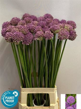 <h4>Allium  'Gladiator'</h4>