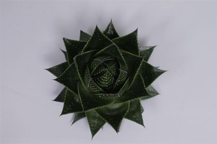 Aloe   ...
