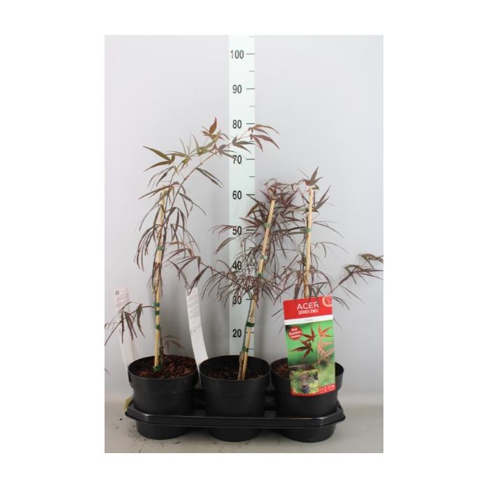 <h4>Acer palmatum 'Enkan'</h4>