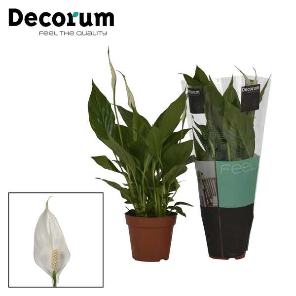 <h4>Spathiphyllum Torelli</h4>