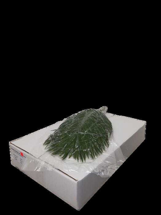 <h4>Phoenix Roebelenii 60cm VP</h4>