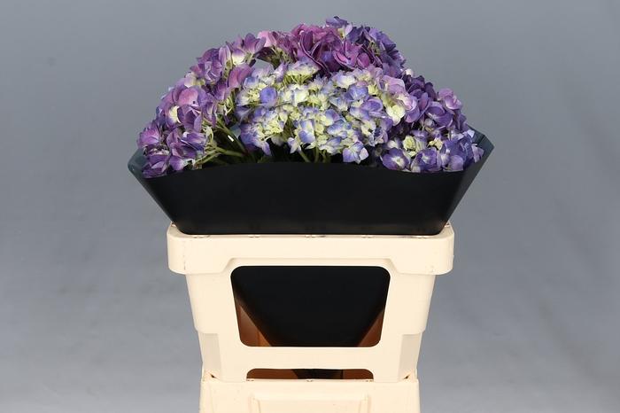 <h4>Hydrangea Purple Premium</h4>