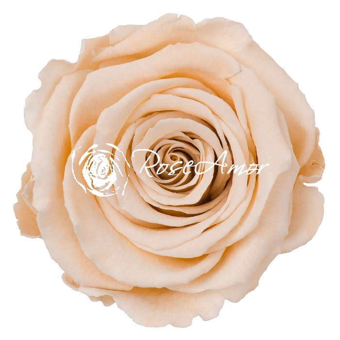 <h4>PRESERVED ROSA LL CHA 01</h4>