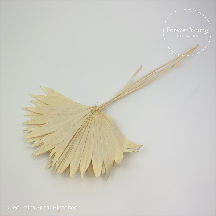 <h4>Dried Palm Spear Bleached</h4>