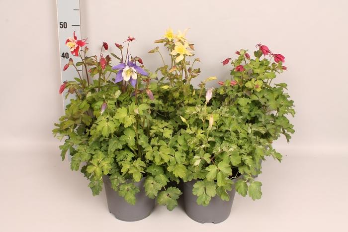 <h4>vaste planten 19 cm  Aquilegia Diverse</h4>