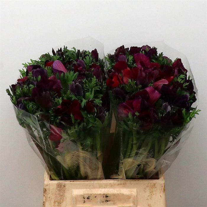 <h4>Anemone cor. 'Mistral Bordeaux'</h4>