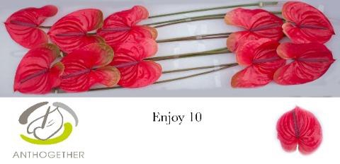 <h4>Anthurium (Andreanum Grp) 'Enjoy'</h4>