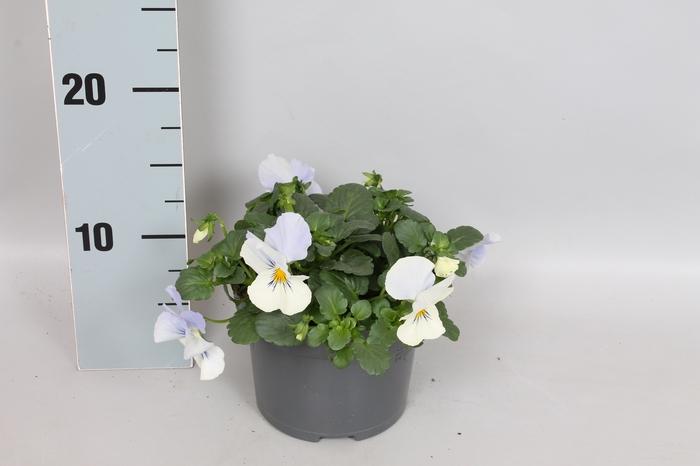 <h4>Viola Coolwave Frost</h4>